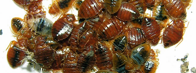 Liverpool Pest Control Service: professional pest control service for Bed Bugs Liverpool & Merseyside, please contact us for more info.