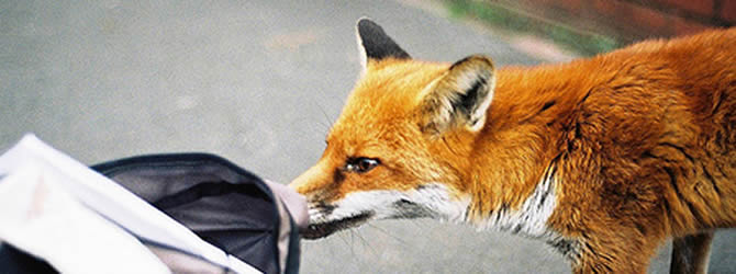 Liverpool Pest Control Service: professional pest control service for Foxes Liverpool & Merseyside, please contact us for more info.