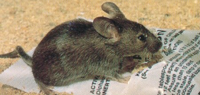 House Mouse infestation Liverpool Pest Control Mice