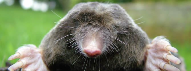 Blackbrook Pest Control Service: professional pest control service for Moles Liverpool & Merseyside, please contact us for more info.