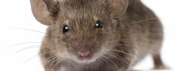 Liverpool Pest Control Service: professional pest control service for Mices/Common House Mouse Liverpool & Merseyside, please contact us for more info.