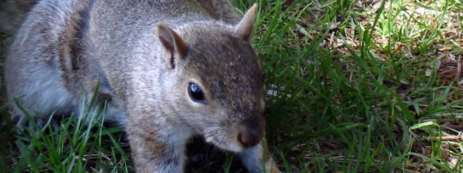 Liverpool Pest Control Service: professional pest control service for Squirrels Liverpool & Merseyside, please contact us for more info.